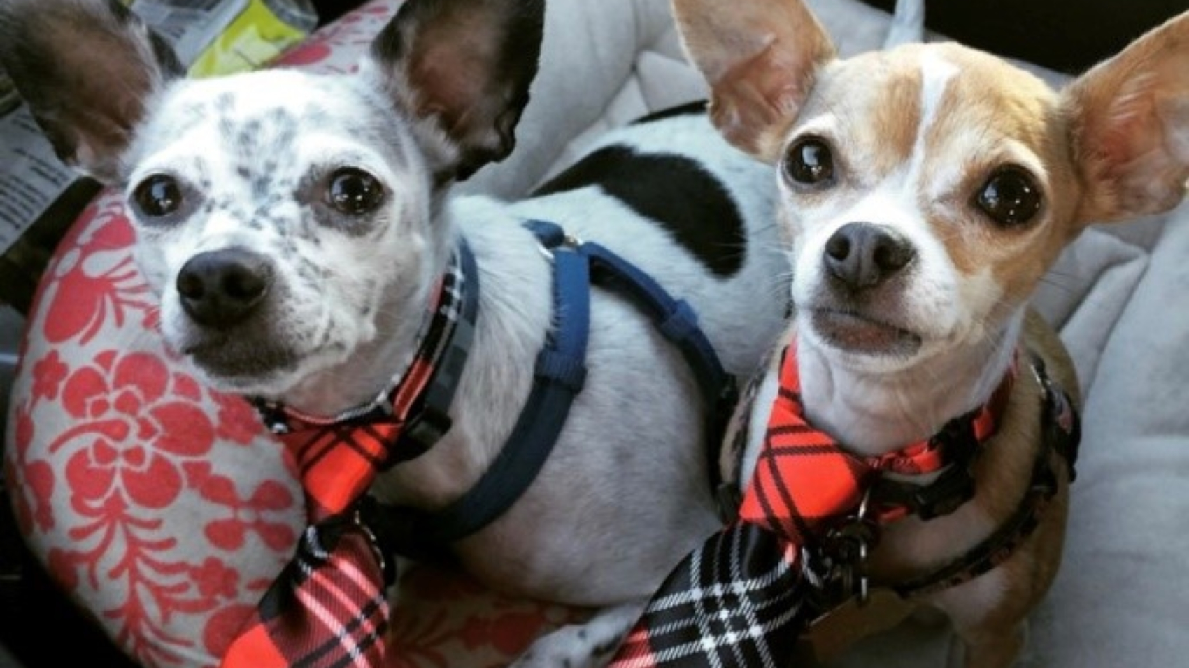 Scotty and Elvis_Latasha Dogs